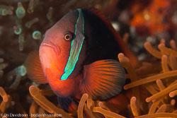 BD-151225-Apo-0125-Amphiprion-frenatus.-Brevoort.-1856-[Tomato-clownfish].jpg